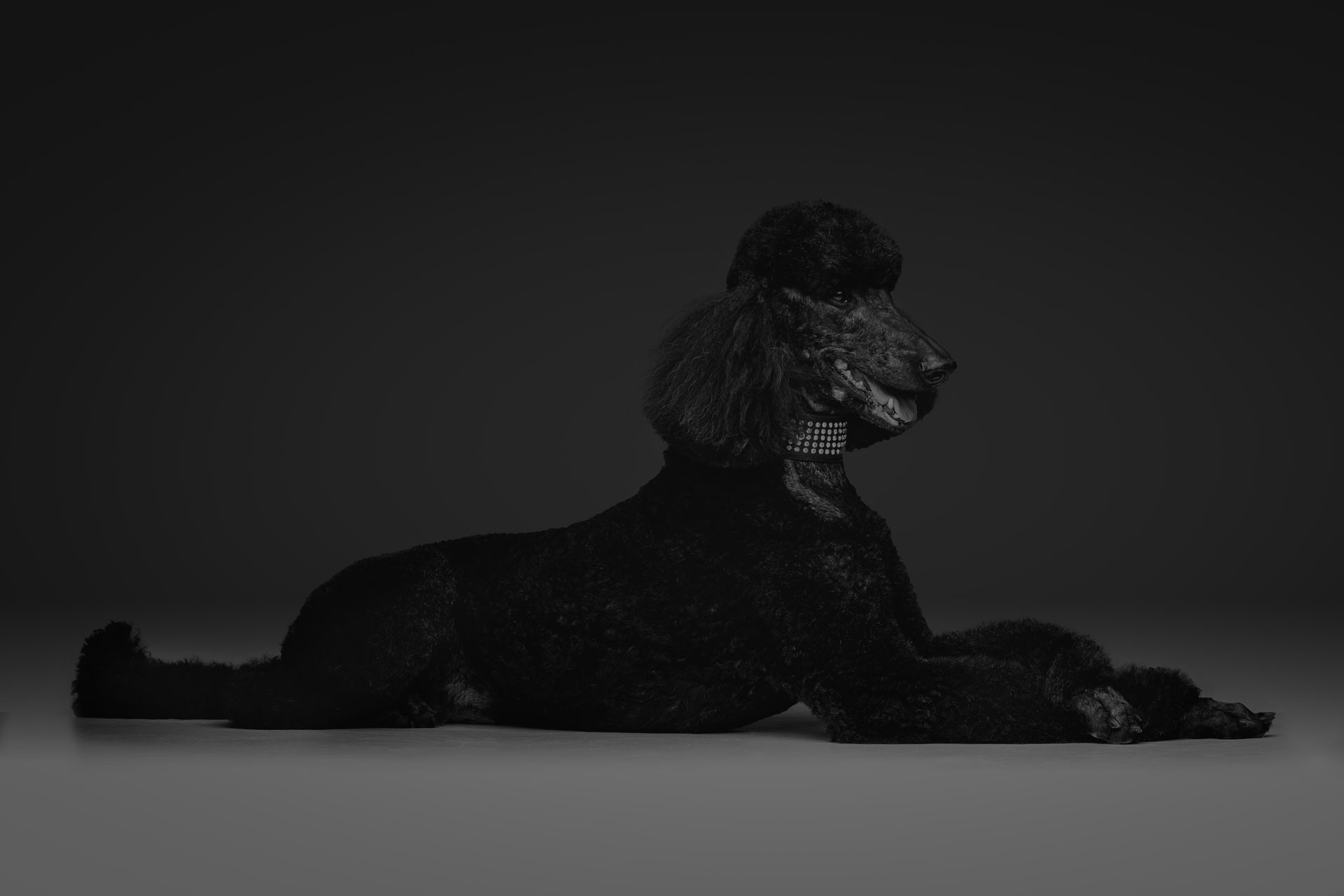 beautiful black poodle on grey background